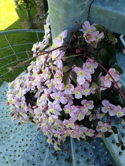Op af spindeltrappen og altansøjlen snor sig en smuk lyserød Clematis