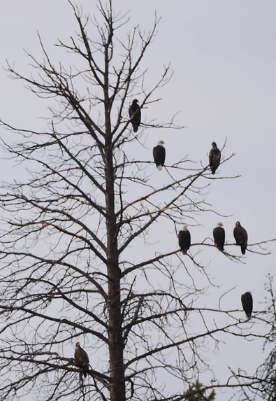 lots of eagles on tree Wickiup _ Jeff Gr
