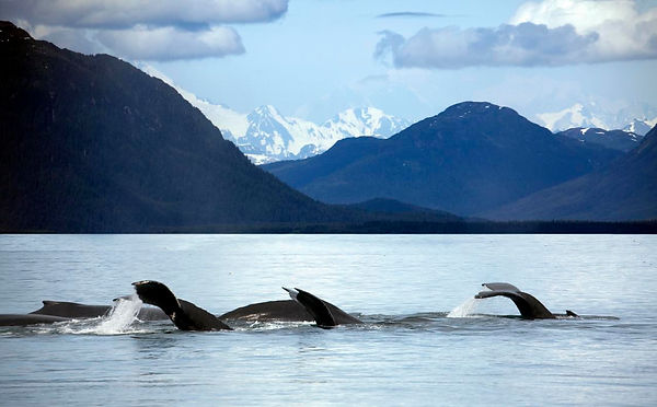 Glacier_bay_(3733728870)_humpback whales