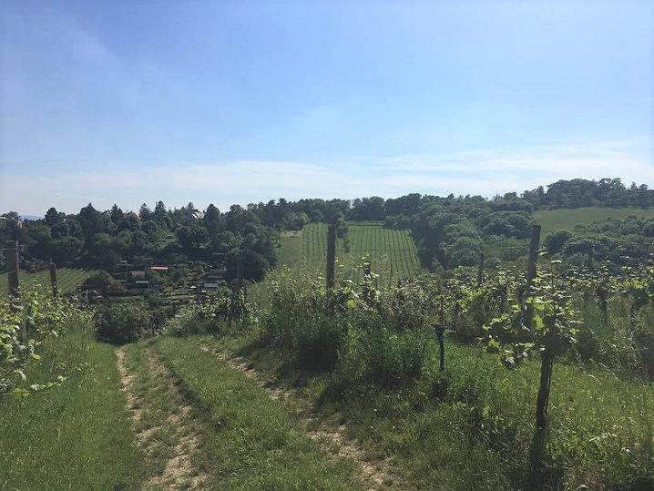 Wanderweg 2 grape vines.jpg