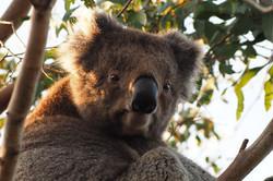 Koalas aplenty