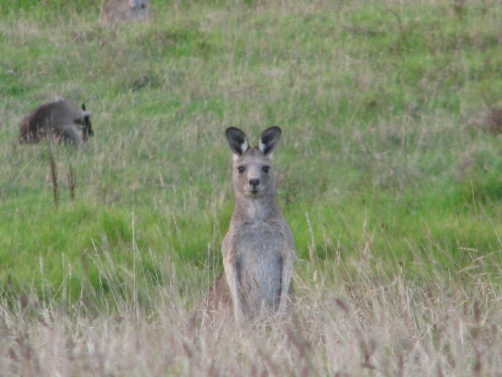Kangaroos at Johanna