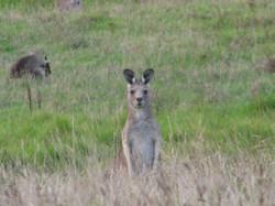 Kangaroos at Johanna