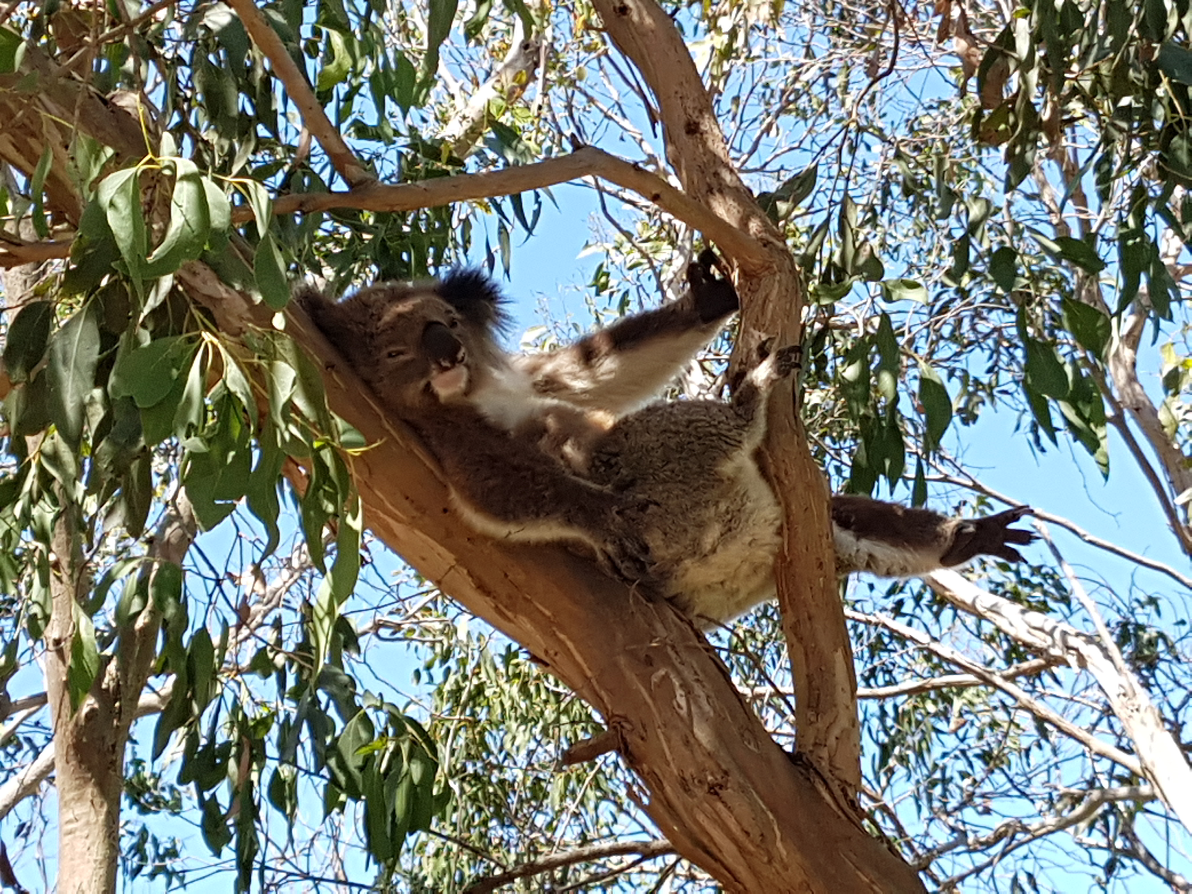 Kool Koalas