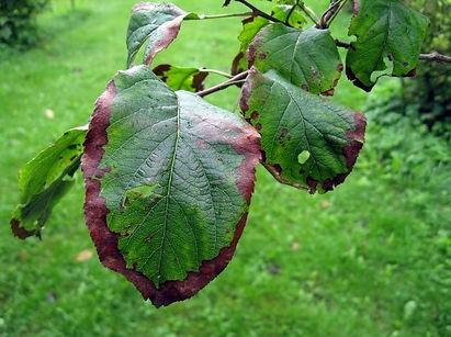 discolored leaf.jpg