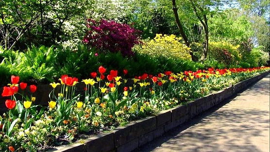 tulips_tulip_bed_north_edited_edited.jpg