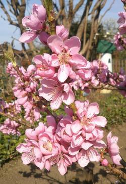 flowers_pink_garden_close