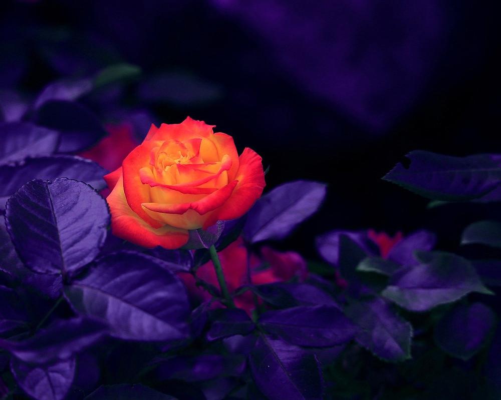 #solar #light #flower #outdoor #garden  #home #solarlight