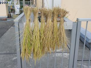 稲刈り・大収穫?