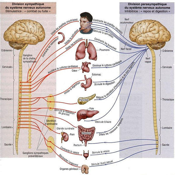 Systeme-nerveux-autonome-Schema-montrant