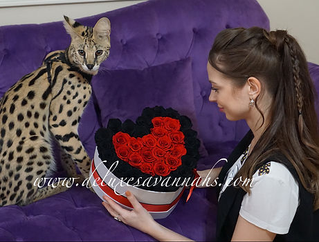 Buy Savannah Online.Savannahs cat for sale. About savannahs. Kittens for sale.