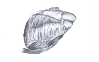Myocardium (2018, 12x8, Graphite)