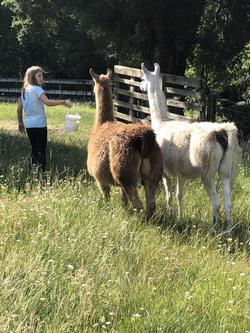 Llama feeding time
