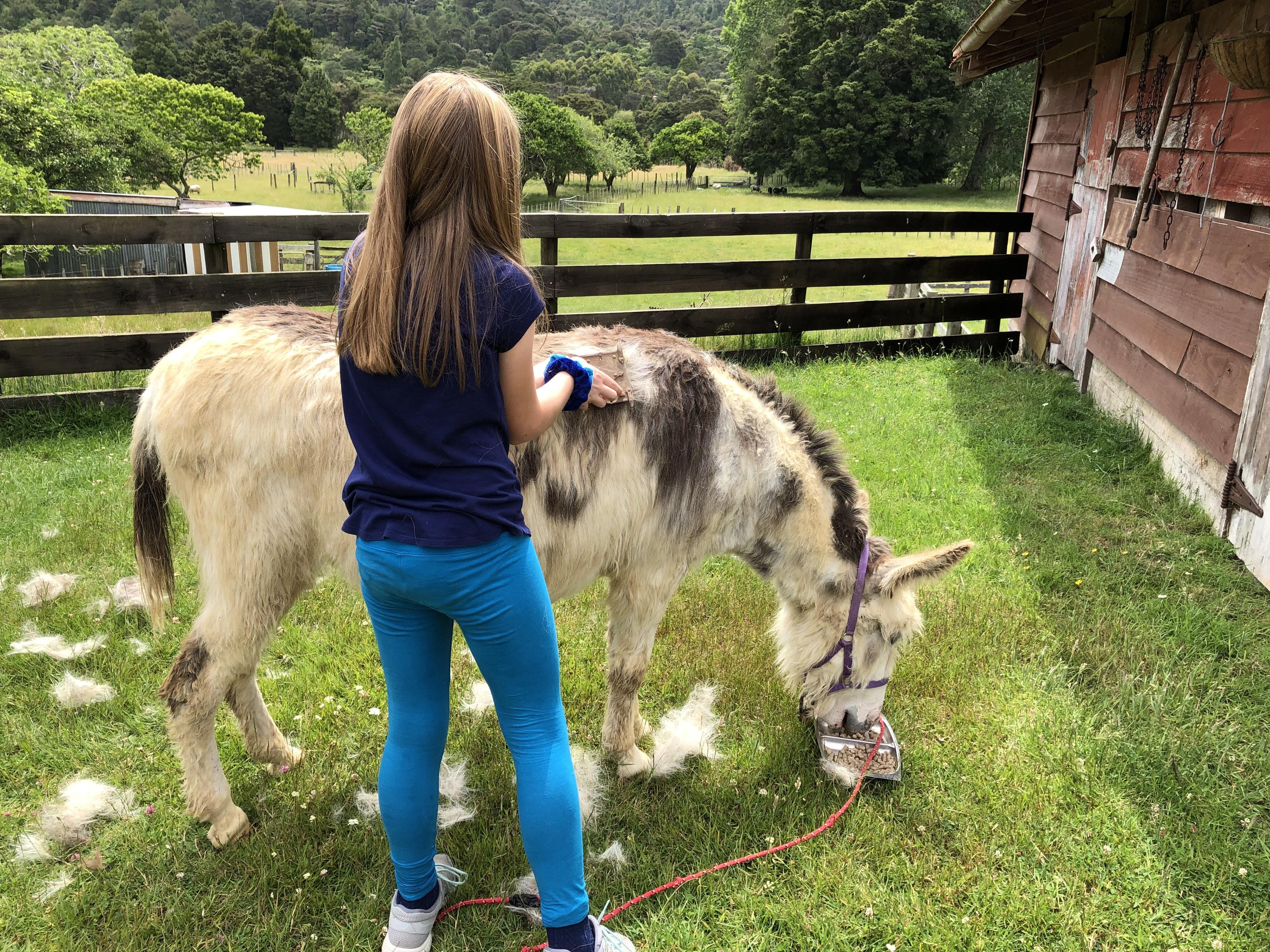 Brushing the donkey.