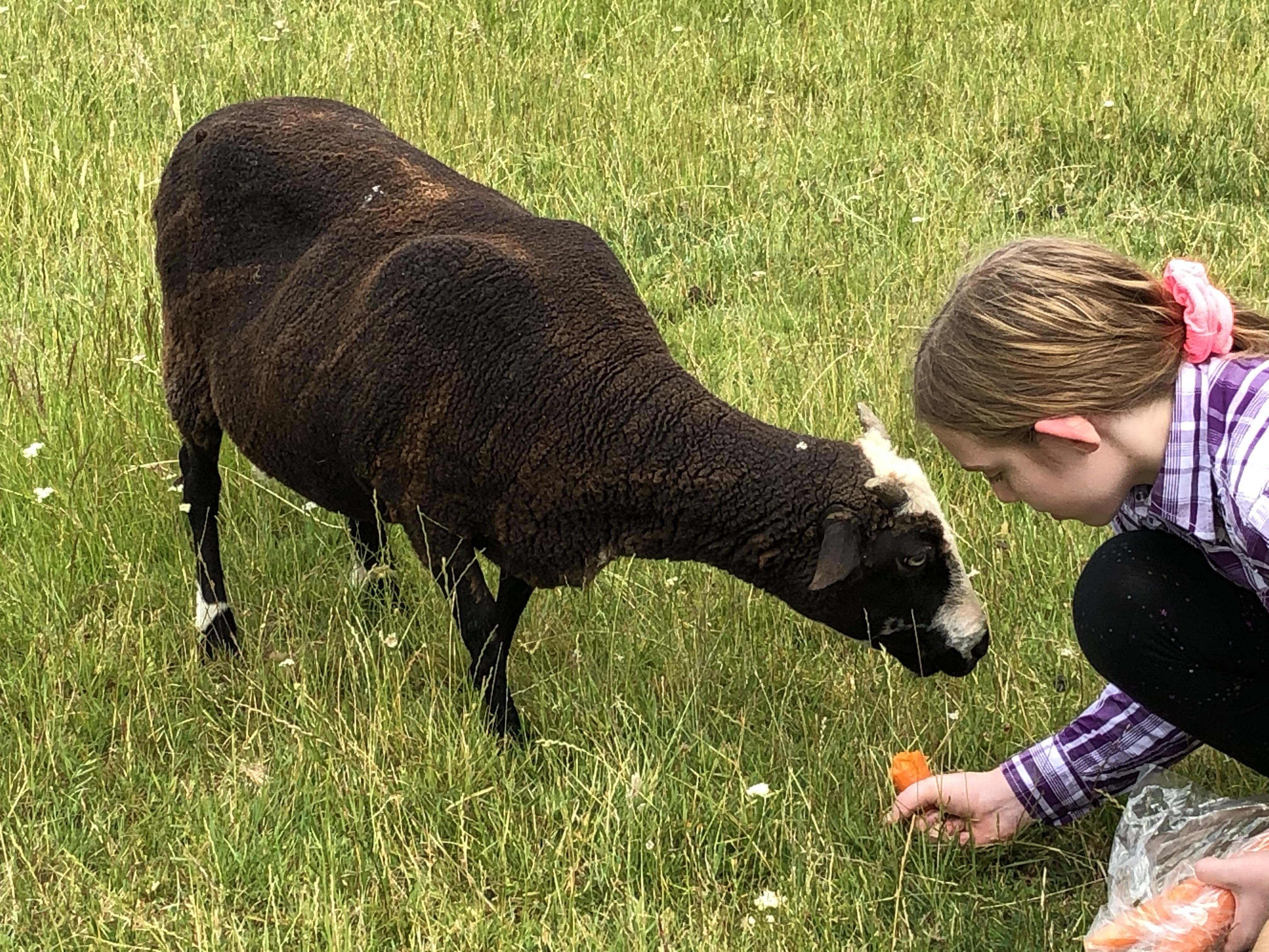 Feeding the sheep some carrots.
