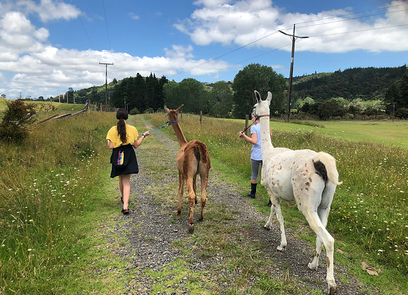 Llama walks around the farmstead.