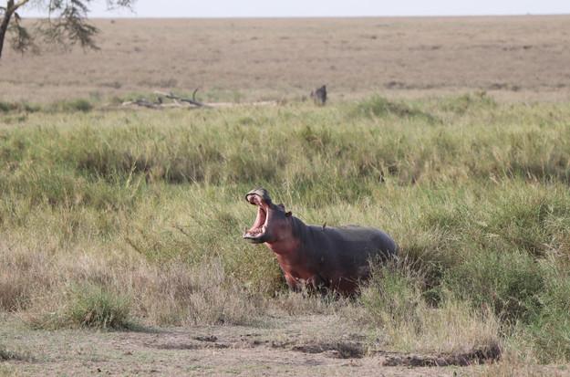 Voyage sur mesure Tanzanie Safari Tarangire Savane Hippopotame