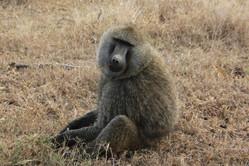 Voyage sur mesure Tanzanie Safari Serengeti Animaux