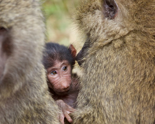 Voyage sur mesure Tanzanie Safari Tarangire Savane Singes