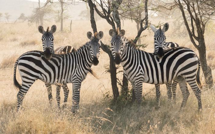 Voyage sur mesure Tanzanie Safari Serengeti Zèbres