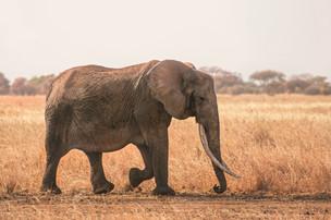 Voyage sur mesure Tanzanie Safari Serengeti Elephant