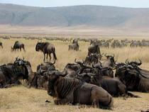 Voyage sur mesure Tanzanie Safari Serengeti Buffles