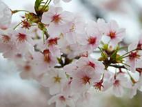 organisation voyage sur mesure japon tokyo kyoto cerisiers