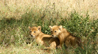 Voyage sur mesure Tanzanie Safari Tarangire Savane Lionceaux