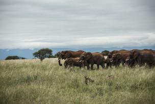 Voyage sur mesure Tanzanie Safari Serengeti Elephants