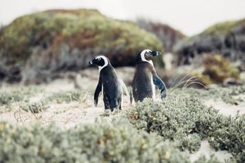 Afrique du Sud voyage sur mesure Le Cap peninsule pingouins