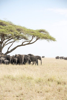 Voyage sur mesure Tanzanie Safari Serengeti Elephants Savane