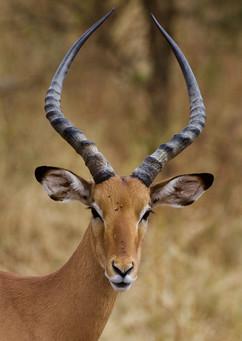 Voyage sur mesure Tanzanie Safari Tarangire Savane Antilope