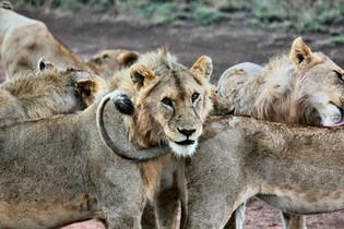 Voyage sur mesure Tanzanie Safari Tarangire Savane Lions