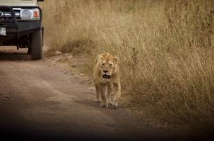 Voyage sur mesure Tanzanie Safari Serengeti Lionne
