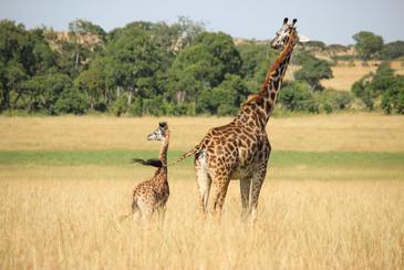 Voyage sur mesure Tanzanie Safari Tarangire Savane Girafe