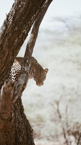 Voyage sur mesure Tanzanie Safari Tarangire Savane Léopards