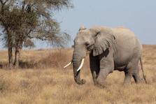 Voyage sur mesure Tanzanie Safari Tarangire Savane Elephant