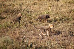 Voyage sur mesure Tanzanie Safari Serengeti Léopards