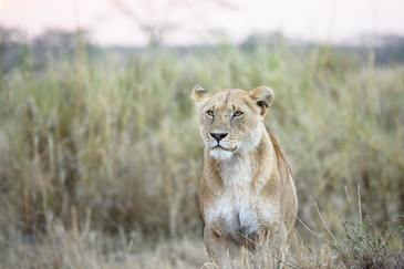 Voyage sur mesure Tanzanie Safari Tarangire Savane Lionne
