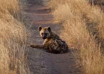 Voyage sur mesure Tanzanie Safari Tarangire Savane Hyène