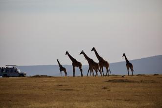 Voyage sur mesure Tanzanie Safari Serengeti Girafes