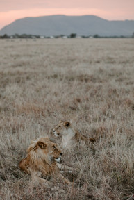 Voyage sur mesure Tanzanie Safari Serengeti Lions
