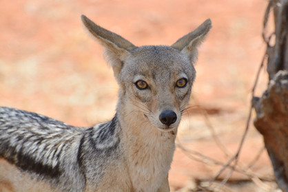 Voyage sur mesure Tanzanie Safari Tarangire Savane Chacal