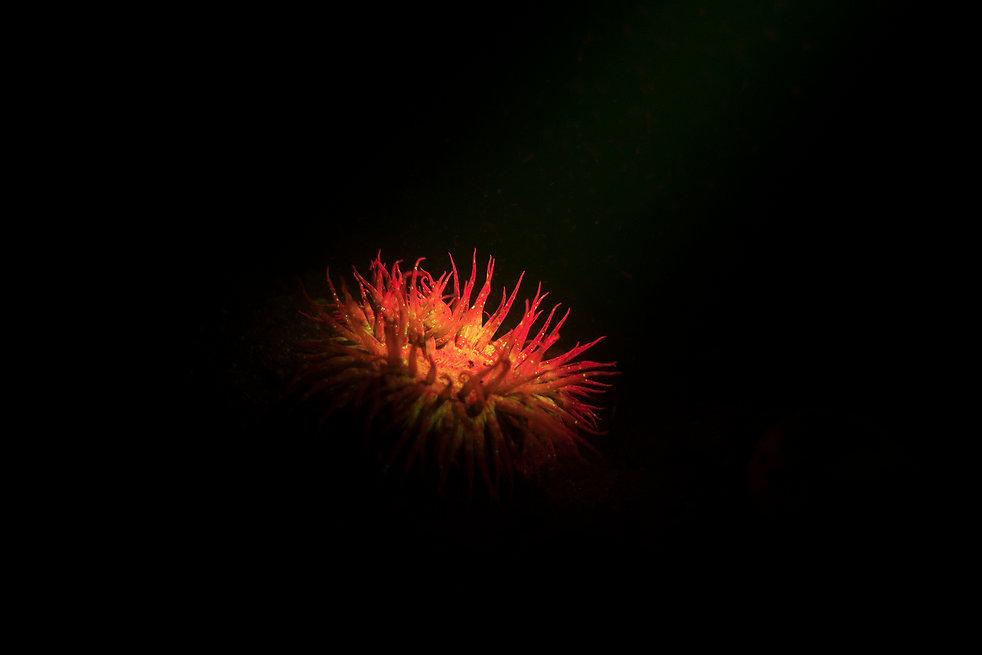 Anemone-2014.jpg