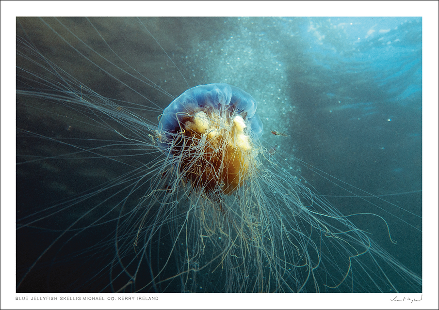 shop-blue-jellyfish.png