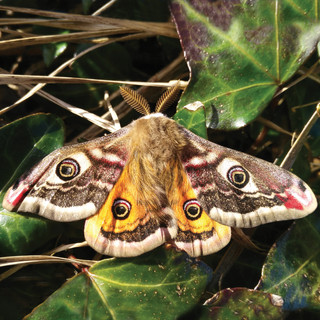 Emperor moth - Wild Parknasilla Exhibition.