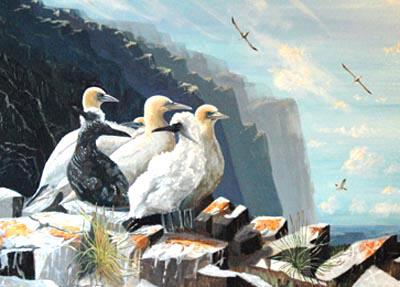 gannets400