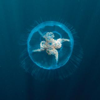 Moon Jellyfish - Wild Parknasilla Exhibition.