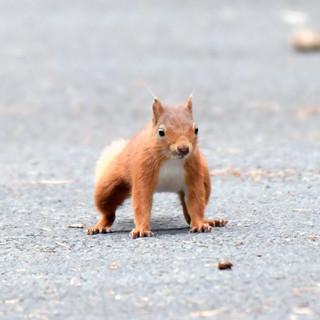 Red Squirrel - Wild Parknasilla Exhibition.
