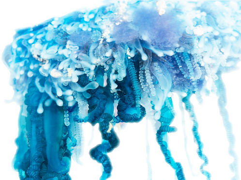 Portuguese Man of War (detail)